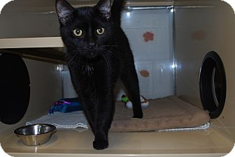 Domestic Shorthair Cat for adoption in New Castle, Pennsylvania - Binx