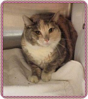 Domestic Shorthair Cat for adoption in Marietta, Georgia - LAURA