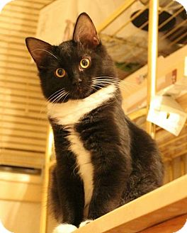 Domestic Shorthair Cat for adoption in Fort Worth, Texas - Tux