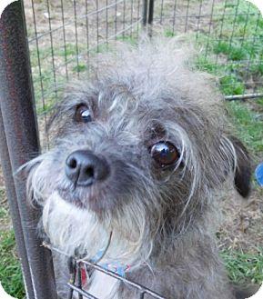 Yorkie, Yorkshire Terrier/Chihuahua Mix Dog for adoption in Bernardston, Massachusetts - Ozzie