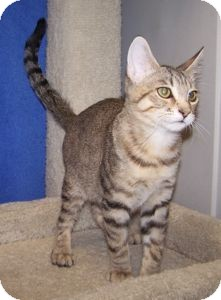 Domestic Shorthair Cat for adoption in Colorado Springs, Colorado - K-Hart4-Alfred