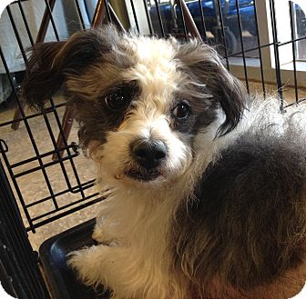 Terrier (Unknown Type, Small) Mix Dog for adoption in Phoenix, Arizona - Benji