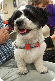 Shih Tzu Mix Dog for adoption in Eden Prairie, Minnesota - Arnie