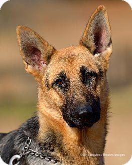 German Shepherd Dog Dog for adoption in Dacula, Georgia - Parker