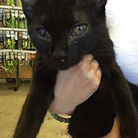 Bombay Kitten for adoption in Cerritos, California - Kelli