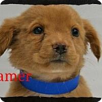 Adopt A Pet :: Beamer - Old Saybrook, CT