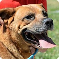 Adopt A Pet :: Rambo - Lincolnton, NC