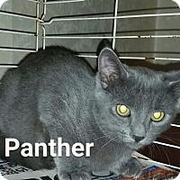 Adopt A Pet :: Panther - Brainardsville, NY