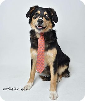 Australian Shepherd Dog for adoption in Kenner, Louisiana - Hayden