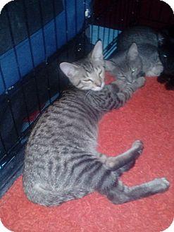 Domestic Shorthair Kitten for adoption in YOUNGTOWN, Arizona - Simon