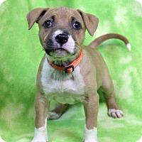Adopt A Pet :: JAINE - Westminster, CO
