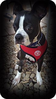Boston Terrier/Boxer Mix Puppy for adoption in Van Vleck, Texas - Ollie