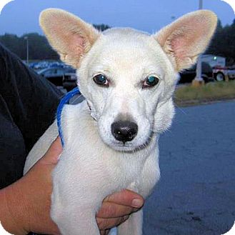 Chihuahua/Feist Mix Dog for adoption in Norristown, Pennsylvania - Radar