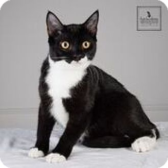 Domestic Shorthair Cat for adoption in Lambertville, New Jersey - Dolly