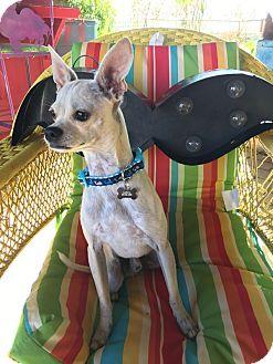 Chihuahua Dog for adoption in oklahoma city, Oklahoma - Oliver