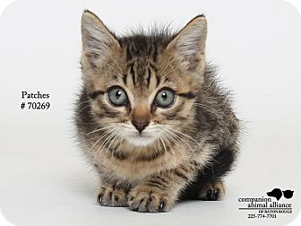 Domestic Mediumhair Kitten for adoption in Baton Rouge, Louisiana - Patches  (Foster Care)