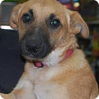 Adopt A Pet :: BabyGirl - Brooklyn, NY