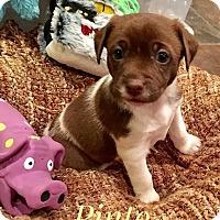 Adopt A Pet :: PINTO - Milton, GA