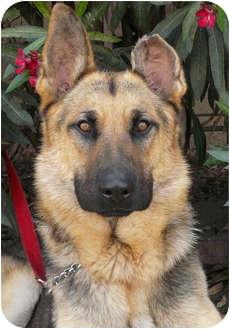 German Shepherd Dog Dog for adoption in Los Angeles, California - Monty von Montoya