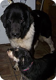 Newfoundland Mix Dog for adoption in Liberty, Missouri - Willow - MISSING