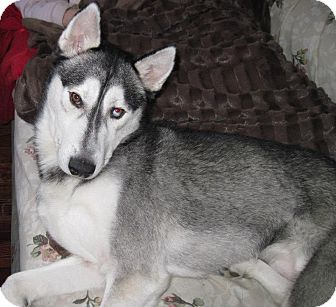 Husky Dog for adoption in Carey, Ohio - LUKA