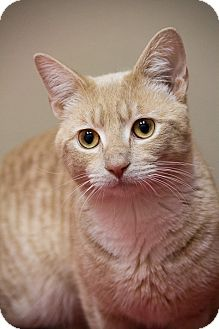 Manx Cat for adoption in Chicago, Illinois - Kipp