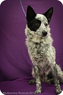 Australian Cattle Dog/Cattle Dog Mix Puppy for adoption in Broomfield, Colorado - Ham