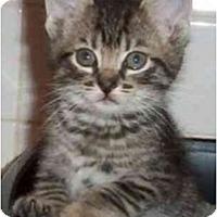 Adopt A Pet :: Whiskers - Reston, VA