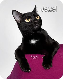 Domestic Shorthair Cat for adoption in Fort Mill, South Carolina - Jewel - 4941B