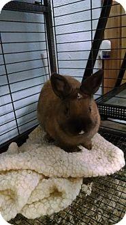 Dwarf Mix for adoption in Monrovia, California - Cinabun