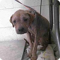 Adopt A Pet :: CLOVER - Conroe, TX