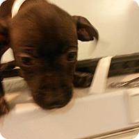 Adopt A Pet :: Cutie - Muskegon, MI