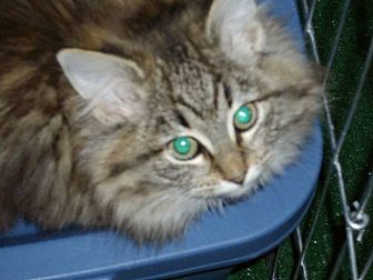 Domestic Mediumhair Cat for adoption in Speedway, Indiana - Rosetta HalfTail