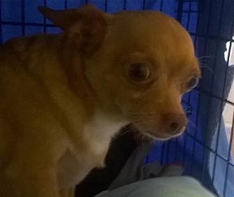 Chihuahua Dog for adoption in Albion, Rhode Island - Marley-I'M ADOPTED!!!