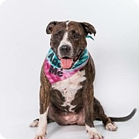 American Bulldog/Boxer Mix Dog for adoption in Boca Raton, Florida - Louise