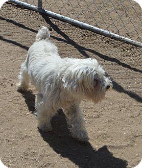 Schnauzer (Miniature) Mix Dog for adoption in Peyton, Colorado - Eli