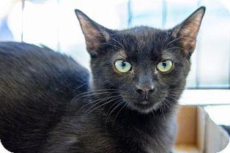 Domestic Shorthair Kitten for adoption in New York, New York - Brandee