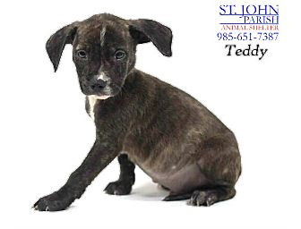 Plott Hound/Beagle Mix Puppy for adoption in Laplace, Louisiana - Teddy