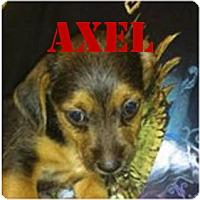 Adopt A Pet :: Axel - Spring, TX