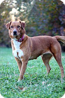 Labrador Retriever Mix Dog for adoption in Waldorf, Maryland - Julie