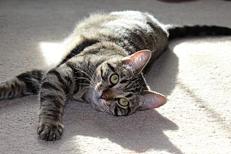 Domestic Shorthair Cat for adoption in Denver, Colorado - Stunning Sophia