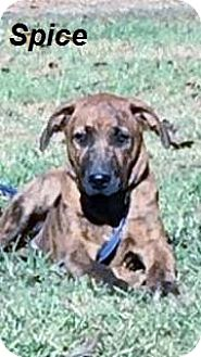 Boxer Mix Puppy for adoption in Manchester, Connecticut - Spice in CT