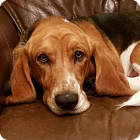 Adopt A Pet :: Merle - Grapevine, TX