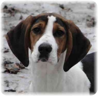 Treeing Walker Coonhound/Coonhound Mix Puppy for adoption in Wyoming, Minnesota - Ursala- Cute!