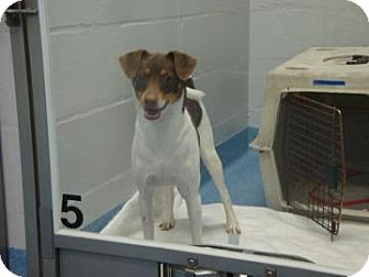Jack Russell Terrier Mix Dog for adoption in Gainesville, Florida - Titan