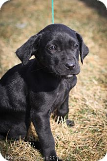 Labrador Retriever/Retriever (Unknown Type) Mix Puppy for adoption in Broomfield, Colorado - Clover