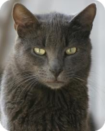 Domestic Shorthair Cat for adoption in North Fort Myers, Florida - Lazy Boy