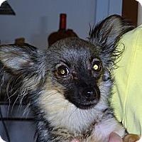 Adopt A Pet :: Cozette - Tucson, AZ