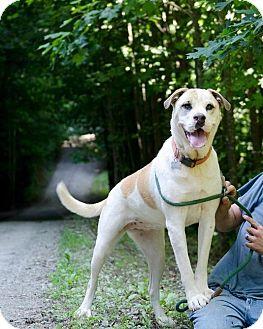 American Bulldog/Husky Mix Dog for adoption in Charlotte, North Carolina - Reecy