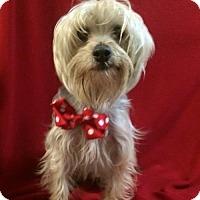 Adopt A Pet :: Addy Sue - Thomspn, CT